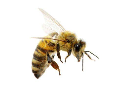 Propolis-Das große Naturheilmittel der Bienen