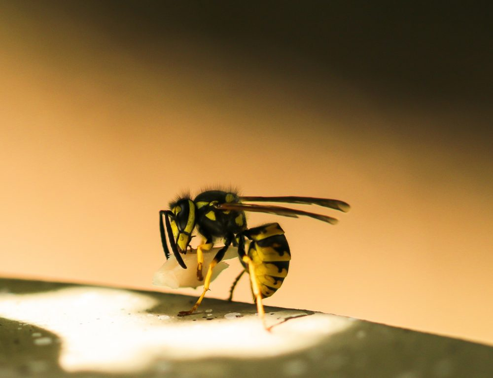 Ohne Chemie: So kannst du dich im Sommer effektiv vor Wespen schützen