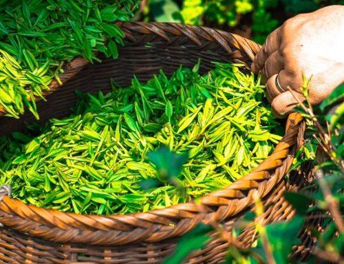 So gesund, so lecker: Darum solltet ihr jeden Tag grünen Tee trinken