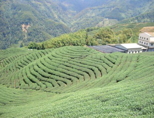 Tee aus biologischem Anbau: Warum es sich lohnt Bio-Tee zu trinken