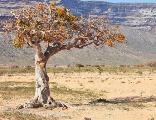 Myrrhebaum zur Arzneipflanze des Jahres 2021 gewählt